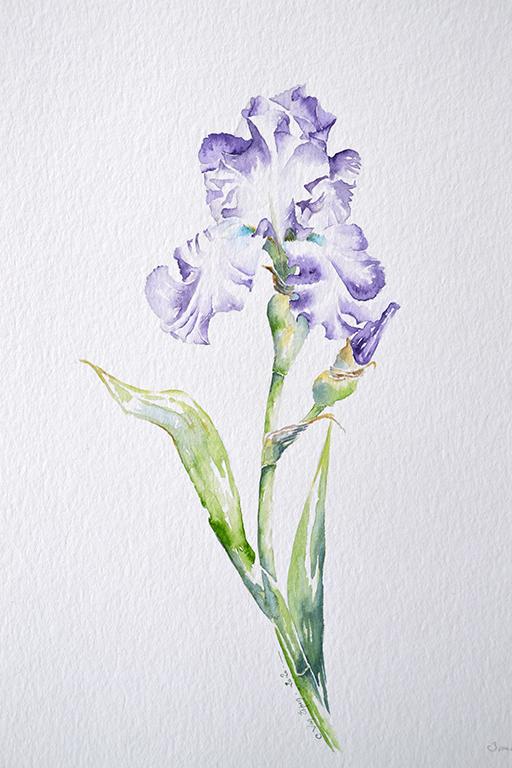 à l'aquarelle, un iric d'un fleuron aux pétales bleu et blanc sur l'intérieur. également, un bouton pointe sur la droite.