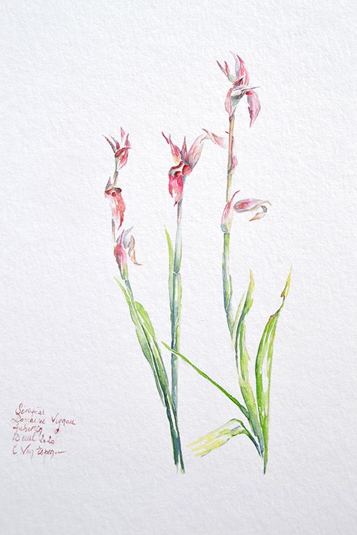 A l'aquarelle, trois hampes de serapias aux couleurs rose : ocre. la plus grande est celle de droite