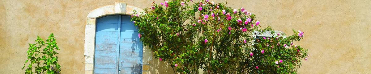photo format bandeau, un mur beige, au tiers le sommet d'une porte en bois bleu avec un rosier qui monte sur le côté droit